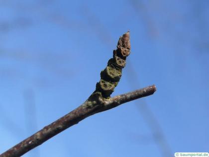 black birch (Betula lenta) termianl bud