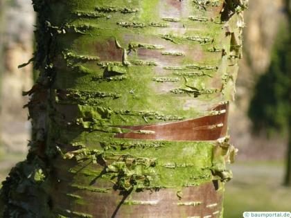 black birch (Betula lenta) trunk