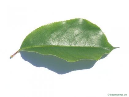 black cherry (Prunus serotina) leaf