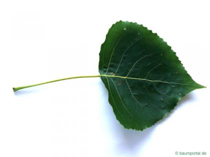 black poplar (Populus nigra) leaf