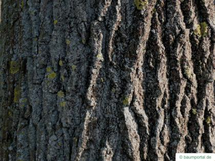 black poplar (Populus nigra) trunk / bark