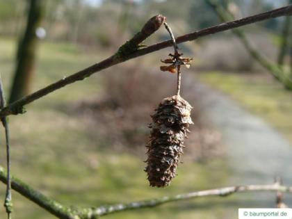 blue birch (Betula caerulea) fruit / cone