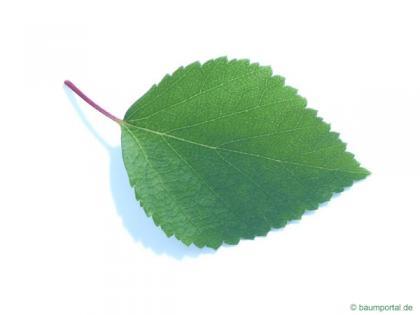 blue birch (Betula caerulea) leaf