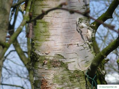 blue birch (Betula caerulea) trunk / stem