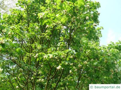 bumald bladdernut (Staphylea bumalda) tree crown with blossoms