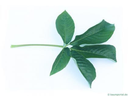 california buckeye (Aesculus californica) leaf
