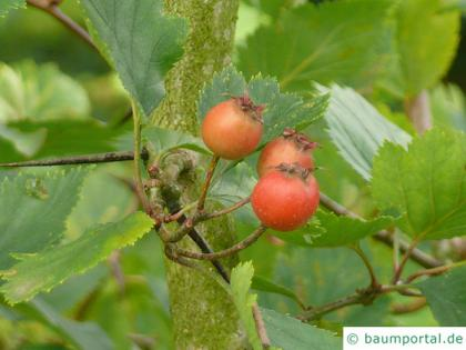 canadian hawthorn (Crataegus canadensis) leaves and fruits