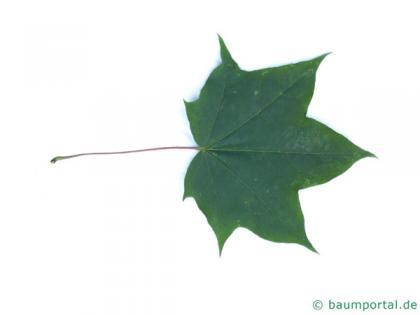 cappadocian maple (Acer cappadocicum) leaf