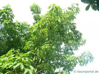 yellow horsechestnut (Aesculus x neglecta 'Erythroblastos') tree crown