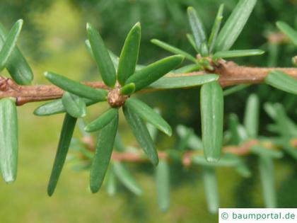 carolina hemlock (Tsuga caroliniana) needles
