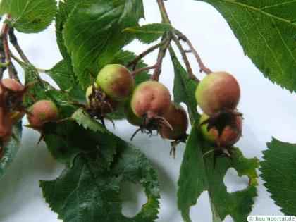 cockspur hawthorn (Crataegus crus-galli) fruit