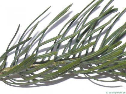 colorado fir (Abies concolor) needles2