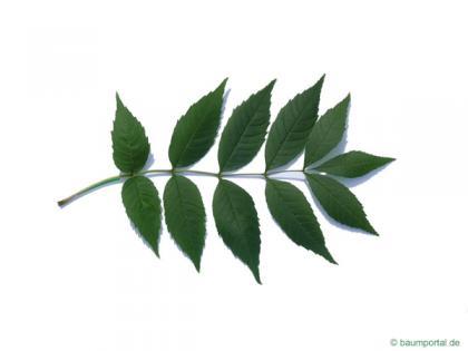 common ash (Fraxinus excelsior) leaf