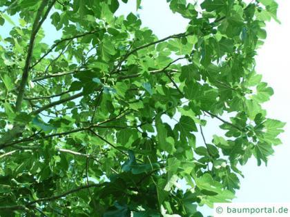 common fig (Ficus carica) leaf underside