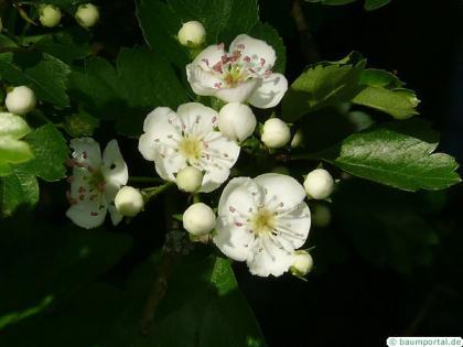 common hawthorn (Crataegus monogyna) flower