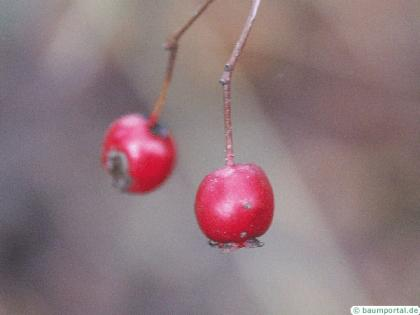 common hawthorn (Crataegus monogyna) fruit