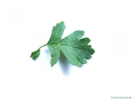 common hawthorn (Crataegus monogyna) leaf