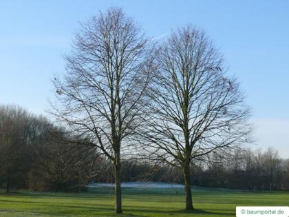 common lime (Tilia intermedia) tree in winter