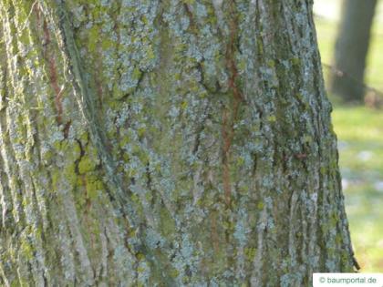 common lime (Tilia intermedia) older trunk