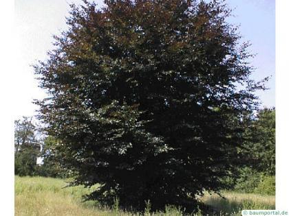 copper beech (Fagus sylvatica purpurea) tree