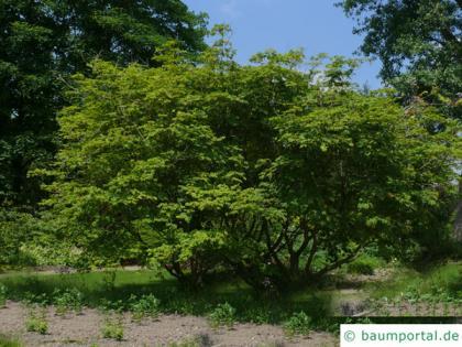 cut leaved japanese maple (Acer japonicum 'Aconitifolium') tree in summer