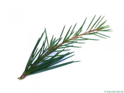 deodar cedar (Cedrus deodara) needles