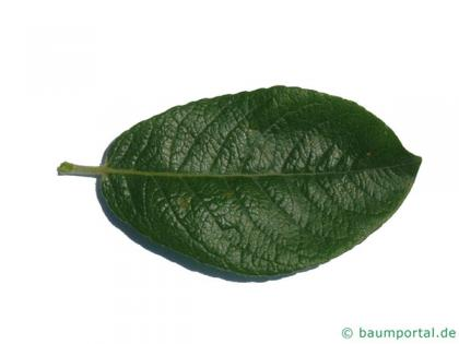dune willow (Salix hookeriana) leaf
