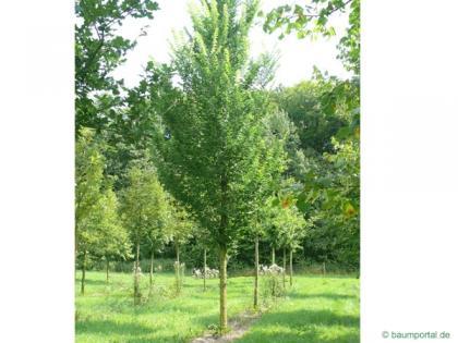 dutch elm (Ulmus hollandica) tree