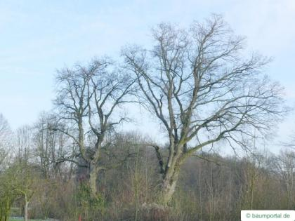 english oak (Quercus robur) tree