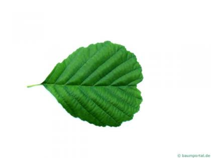 european alder (Alnus glutinosa) leaf