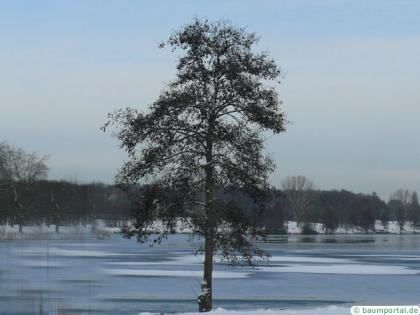 european alder (Alnus glutinosa) tree in Winter