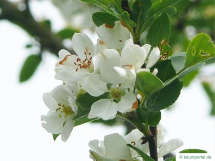 europeab crab apple (Malus sylvestris) apple flowers
