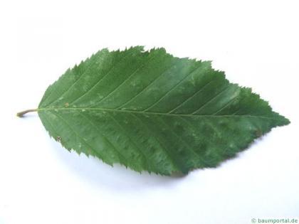 european hornbeam (Carpinus betulus) leaf