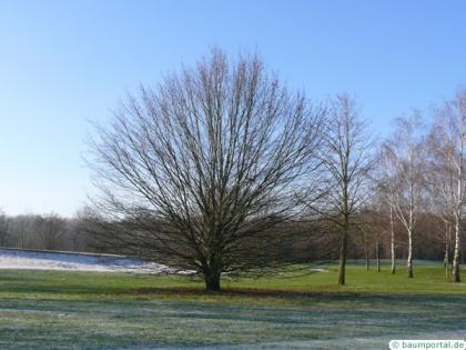 european hornbeam (Carpinus betulus) tree
