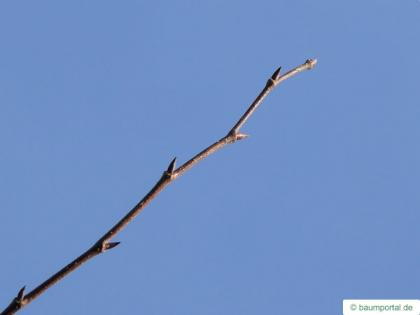european white elm (Ulmus laevis) buds