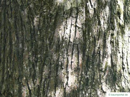 european white elm (Ulmus laevis) fruits