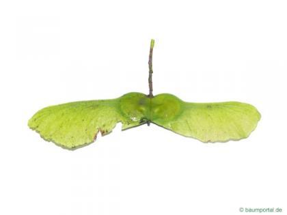 field maple (Acer campestre) fruit