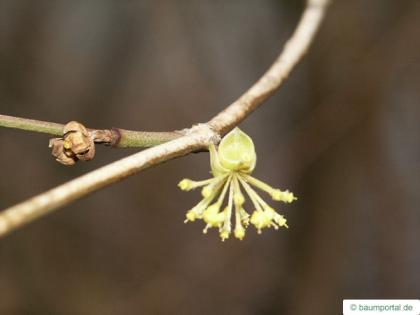 field maple (Acer campestre) flower