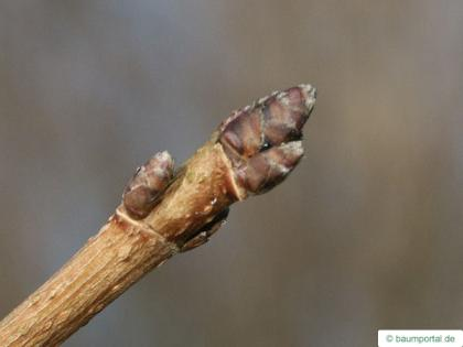 field maple (Acer campestre) terminal bud