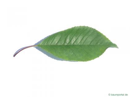 fire cherry (Prunus pensylvanica) leaf