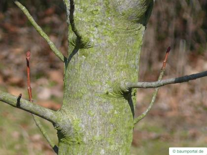 fire cherry (Prunus pensylvanica) stem /trunk