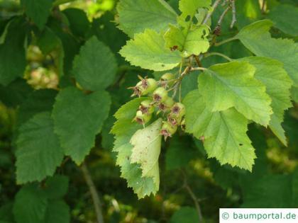 fireberry hawthorn (Crataegus chrysocarpa) fruits