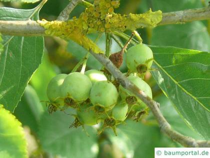 frosted hawthorn (Crataegus pruinosa) fruits