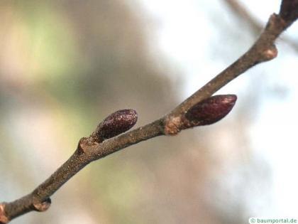 gray alder (Alnus incana) trunk