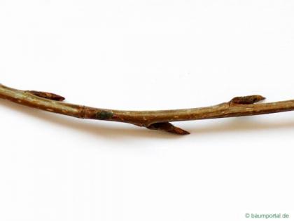 gray poplar (Populus × canescens) twig
