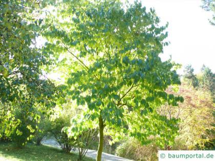 hardy rubber tree (Eucommia ulmoides) tree in summer