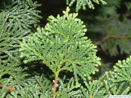 hinoki cypress (Chamaecyparis obtusa) needle