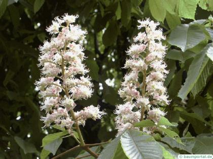 horsechestnut (Aesculus hippocastanum) flower 2
