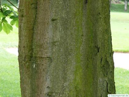 horsechestnut (Aesculus hippocastanum) trunk