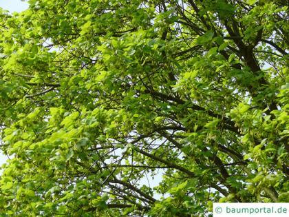 italian maple (Acer opalus) tree crown in summer